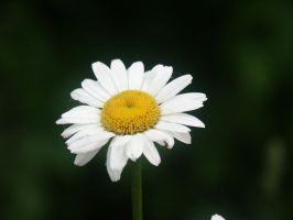 Daisy by dreamweaver69stock