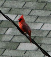 Male Cardinal one more time by seto2112