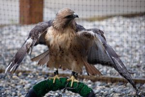 Kily_Red tailed Hawk by Babsula