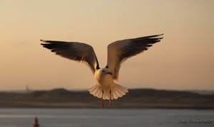 Gull 4 by Linay-stock