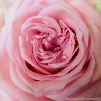 Pink rose with drops 1 by FrancescaDelfino