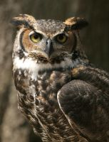 Great Horned Owl 20D0024816 by Cristian-M