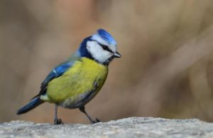 Blue tit by melodi996