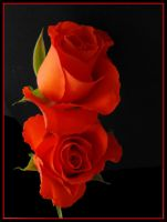 Red Roses by viva100