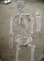 skeleton study by HayBay