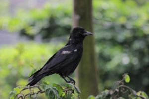 Crow 1 by landkeks-stock