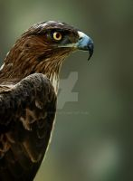 hawk vision by titah
