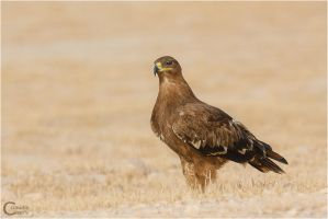 Steppe Eagle by ClaudeG