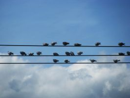 20 pigeons on the wires by chanmanthechinaman