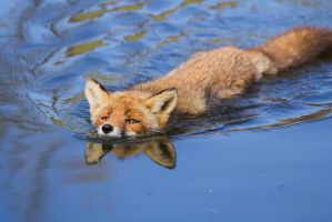 Swimming Fox by AngelaLouwe