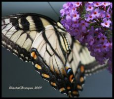Swallowtail butterfly by mariquasunbird1