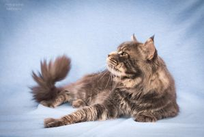Maine-coon Diva voice13 by Kelshray-photo