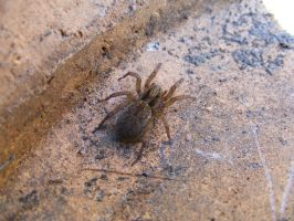 Brown Spider by Lengels-Stock