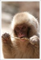 Macaque Portraits - V by eight-eight
