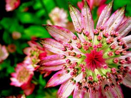 Astrantia Major by aroraangel