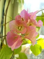 Bougainvillea glabra by shiaking