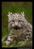 Baby Snow Leopard: Tasty VI by TVD-Photography