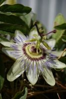Passionfruit Flower 2 by FallowpenStock