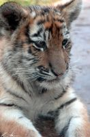Tiger Cubs 3 by ph0t0k1tty