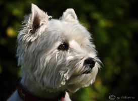 West Highland White Terrier by Bull04