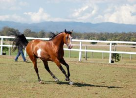 GE arab pinto canter side 3/4 stallion by Chunga-Stock