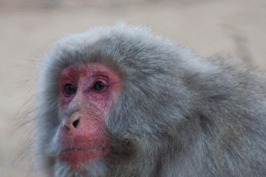 Portrait of a Monkey 2 by Salgor