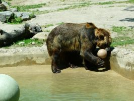 Grizzly Bear 11 by Unseelie-Stock
