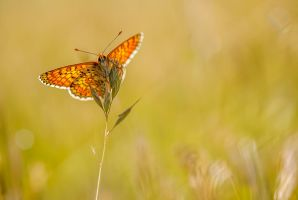 Melitaea cinxia backlight by buleria