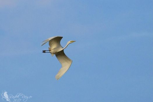 Flying Great egret (Ardea alba) 1 by PhotoDragonBird