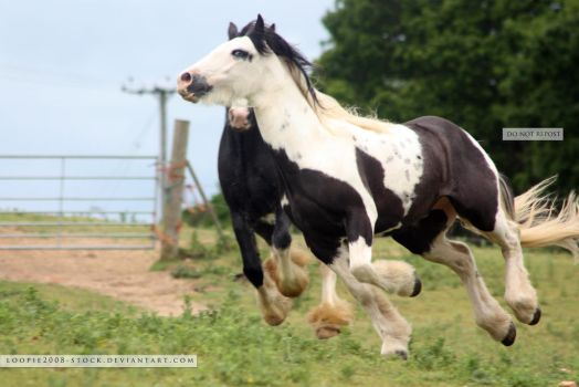 Traditional Gypsy Cob Stock 4 by s-uperflu0us