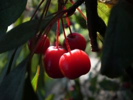Sunlit Cherries by Pentacle5