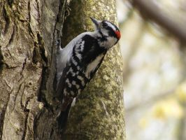 Hairy Woodpecker by PaganFireSnake