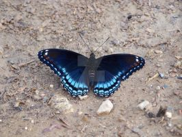 Red Spotted Purple Butterfly 1 by Lady-Knight-Azura