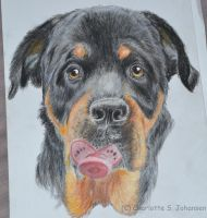 Rottweiler drawing by Charjoha