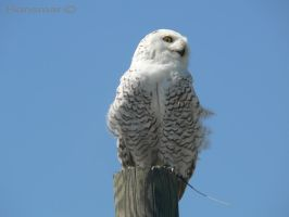 Snow owl 2 by Hansmar