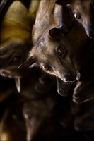 Straw-colored Fruit Bat II by hoboinaschoolbus