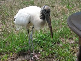 Wood Stork 5 by Polly-Stock
