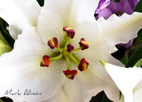 Lily by Mark-Allison