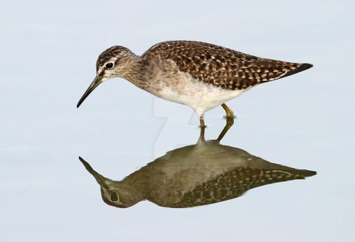 I see you, you see me -  Wood Sandpiper by Jamie-MacArthur