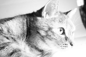 Cat BW by farbenleere