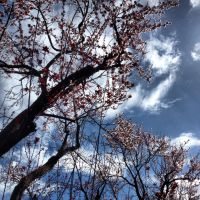 Blossoms and Sky by HarmsWayApparel