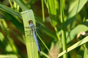 Blue Skeeter Eater by papatheo