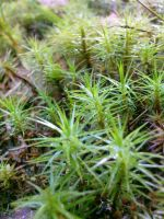Moss 1 by Nenthil