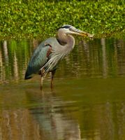 Great Blue Heron with a fish by boron