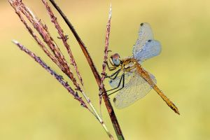 solar dragonfly by dralik
