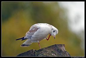 Gull Portrait by andy-j-s