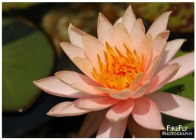 Water Lily 2 by FireFlyGal