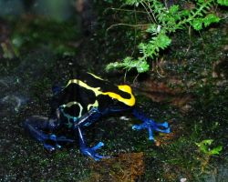 Dyeing Poison Dart Frog I by AprilDHallPhoto