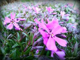 Spring Flower 2012 - 21 by Ingnition