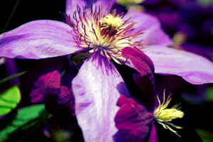 Clematis by jmallison